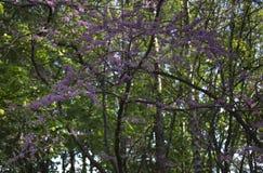 Kwitnący ornamentacyjny śliwkowy drzewo Obrazy Stock