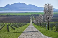 Kwitnący owocowi drzewa, droga między vineries w Moravia zdjęcia stock