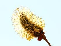 Kwitnący pączek Salix Caprea, zakończenie Obraz Royalty Free