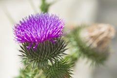 Kwitnący pięknego kwiatu z łopianowymi prickles, zdjęcie stock