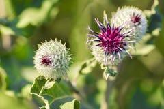 Kwitnący pięknego kwiatu z łopianowymi prickles, fotografia royalty free