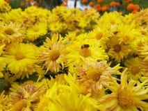 Kwitnący piękni kolorów żółtych kwiaty zdjęcie royalty free