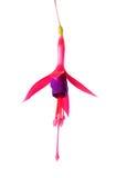 Kwitnący piękny przerzedże kwiatu lily i czerwona fuksja jest iso Zdjęcie Stock