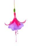 Kwitnący piękny przerzedże kwiatu lily i czerwona fuksja jest iso Fotografia Royalty Free