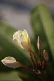kwitnący plumeria Zdjęcie Royalty Free