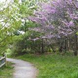 kwitnący pobliski ścieżki menchii redbuds las Obraz Royalty Free