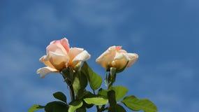 Kwitnący Pogodny I róże obraz stock