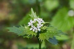 Kwitnący pokrzywowy krzak z białymi kwiatami Zdjęcia Stock