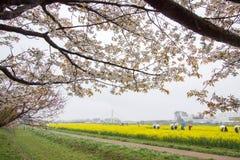 Kwitnący pola żółty kwiatonośny nanohana i behind, Gongendo park w Satte, Saitama, Japonia Obraz Stock
