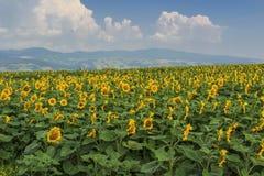 Kwitnący pole słoneczniki na błękitnym chmurnym niebie Obraz Royalty Free
