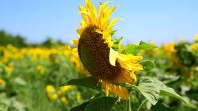 Kwitnący pole z słonecznikami zdjęcie wideo