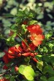 Kwitnący pomarańczowi kwiaty Japońska pigwa Zdjęcia Stock