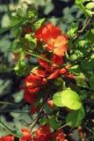 Kwitnący pomarańczowi kwiaty Japońska pigwa Zdjęcia Royalty Free