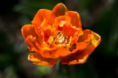 Kwitnący pomarańczowy tulipan w wiośnie Fotografia Stock