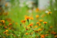 Kwitnący pomarańczowy wildflower Obrazy Stock