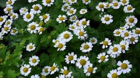 Kwitnący pospolitej stokrotki floweron flowerbed footage zdjęcie wideo