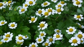 Kwitnący pospolitej stokrotki floweron flowerbed footage zbiory