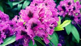 Kwitnący Purpurowy Rododendronowy zakończenie Zdjęcie Royalty Free