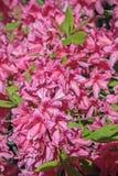 kwitnący różanecznik Zdjęcie Stock