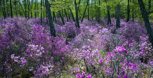 Kwitnący różanecznik, brzeg jeziorny Baikal zdjęcie royalty free