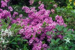 Kwitnący różanecznik menchii kwiaty w wiosna ogródzie fotografia stock
