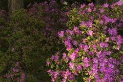 Kwitnący różanecznik w halnym lesie w wiośnie Obraz Stock