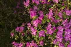 Kwitnący różanecznik w halnym lesie w wiośnie Zdjęcie Royalty Free