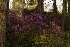Kwitnący różanecznik w halnym lesie w wiośnie Obrazy Royalty Free