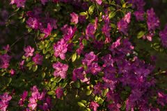 Kwitnący różanecznik w halnym lesie w wiośnie Obrazy Stock