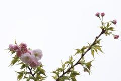 Kwitnący różowi czereśniowi okwitnięcia w obich stronach obrazek Zdjęcie Stock
