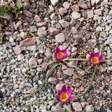 Kwitnący różowi tulipany w parku pierwszy kwiaty zdjęcia royalty free