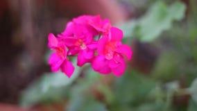 Kwitn?cy r??owy bodziszka kwiat w naturze - sezonowa wiosna kwitnie zbiory
