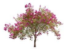Kwitnący różowy drzewo odizolowywający na bielu fotografia royalty free
