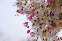 Kwitnący różowy kasi bakeriana Craib kwiat Fotografia Royalty Free