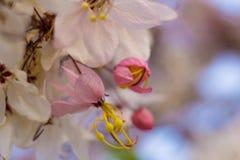 Kwitnący różowy kasi bakeriana Craib kwiat Zdjęcia Royalty Free