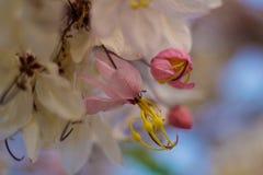 Kwitnący różowy kasi bakeriana Craib kwiat Zdjęcie Stock