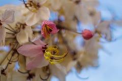 Kwitnący różowy kasi bakeriana Craib kwiat Obraz Royalty Free