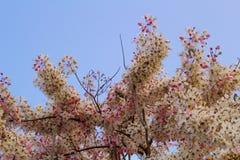 Kwitnący różowy kasi bakeriana Craib kwiat Fotografia Stock