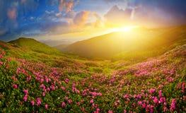 Kwitnący różowy różanecznik w lata średniogórzu zdjęcia royalty free