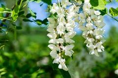 Kwitnący rozgałęzia się z białymi kwiatami grochodrzewu pseudoacacia Czarna szarańcza, Fałszywa akacja w wiośnie zdjęcia stock