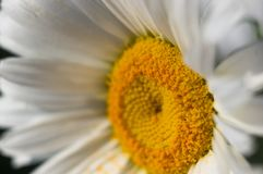 Kwitnący rumianek, selekcyjna ostrość Obraz Stock