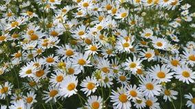 Kwitnący rumianki przy lata polem zdjęcie wideo