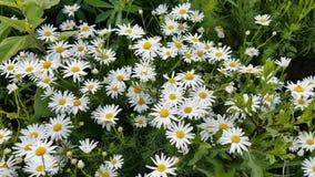Kwitnący rumianki przy lata polem zbiory wideo