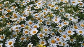 Kwitnący rumianki przy lata polem zbiory