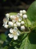 Kwitnący słodkiej wiśni Prunus avium Obrazy Royalty Free