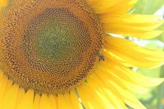Kwitnący słonecznik Obrazy Royalty Free