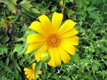 kwitnący słonecznik Obraz Royalty Free
