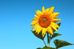 kwitnący słonecznik Zdjęcie Stock
