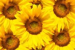 kwitnący słonecznik Zdjęcie Royalty Free