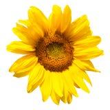 kwitnący słonecznik Zdjęcia Stock